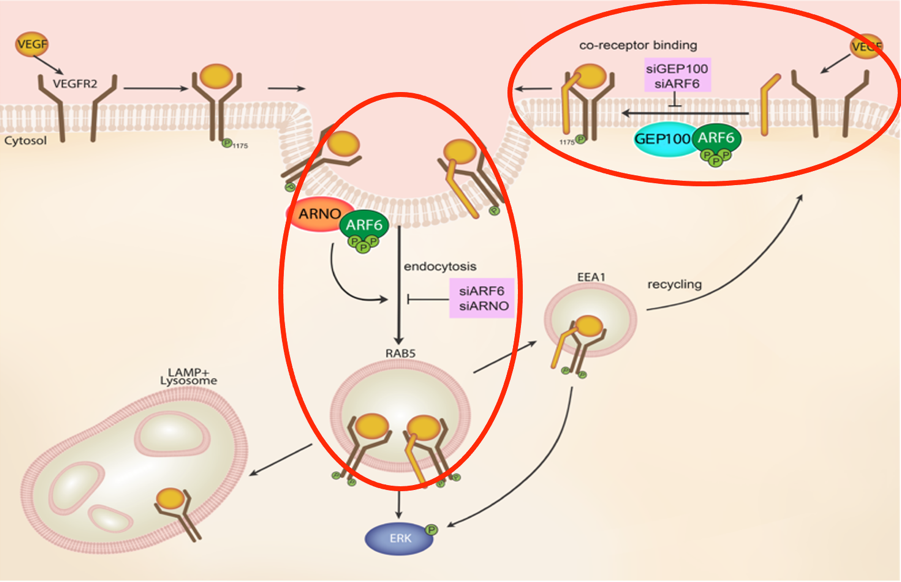 Graphic- ARF6 Plays Key Role in Diabetes-Induced Blindness