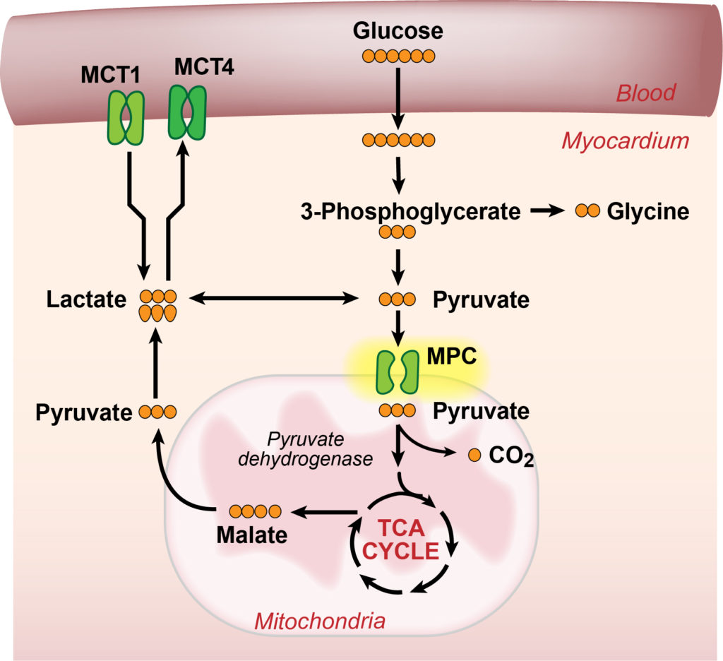 Graphic- Myocardial Recovery in Chronic Heart Failure