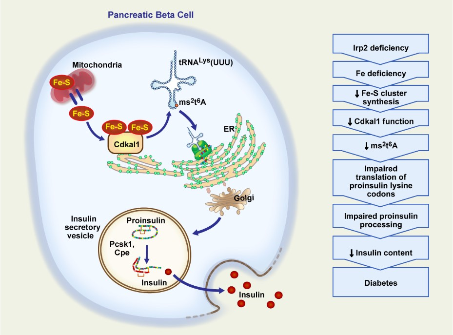 Graphic- How Iron Deficiency Impairs Pancreatic β-Cell Function