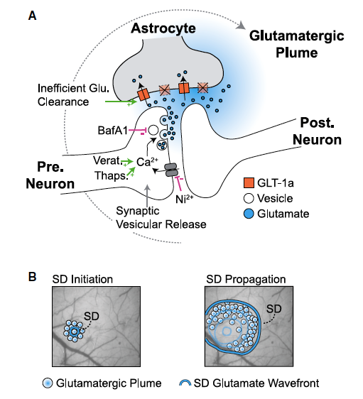 Graphic- A New Form of Glutamate Signaling Discovered in Migraine