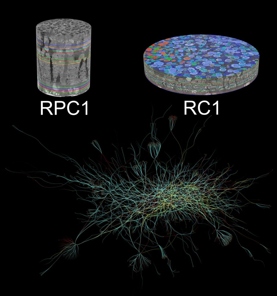 Graphic- Neuronal Connections in the Retina