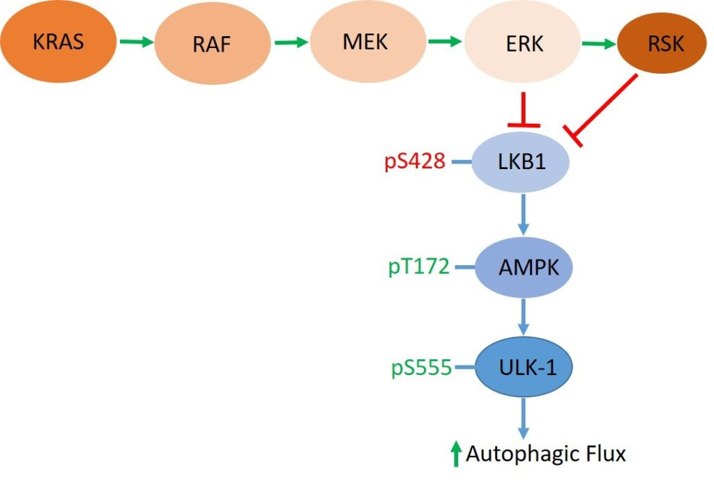 Graphic- Combination Therapy for Treatment-Resistant Pancreatic Cancer